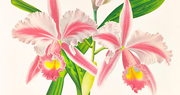 Lindenia: Iconographie des orchidées