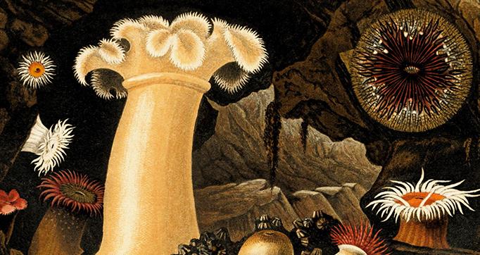 Actinologia britannica. A history of the British sea-anemones and corals
