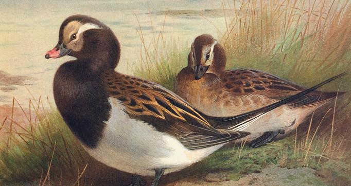 British Diving Ducks