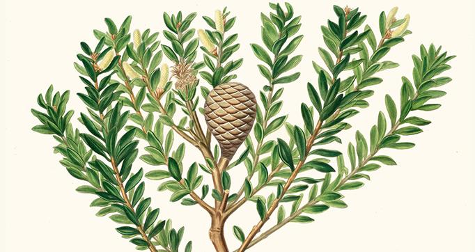 A Description of the Genus Pinus