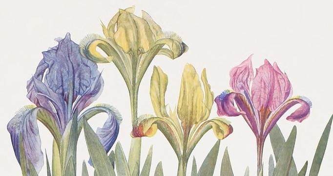 The genus Iris
