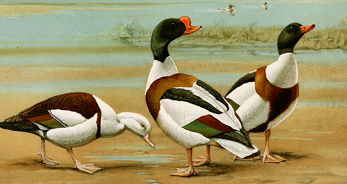 A natural history of the ducks