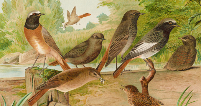 Natural history of the Birds of Central Europe
