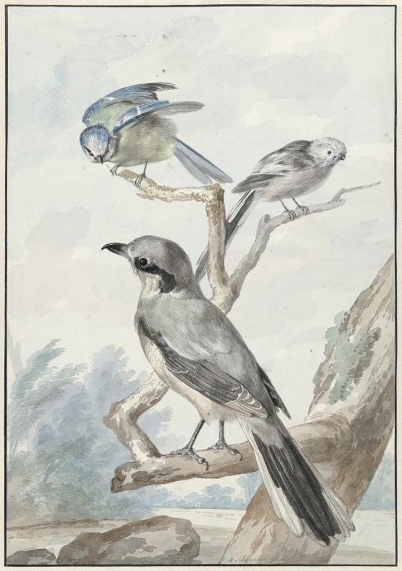 Aert Schouman - Drie vogels; een Staartmees, een Pimpelmees en een Klapekster of Grote Klauwier