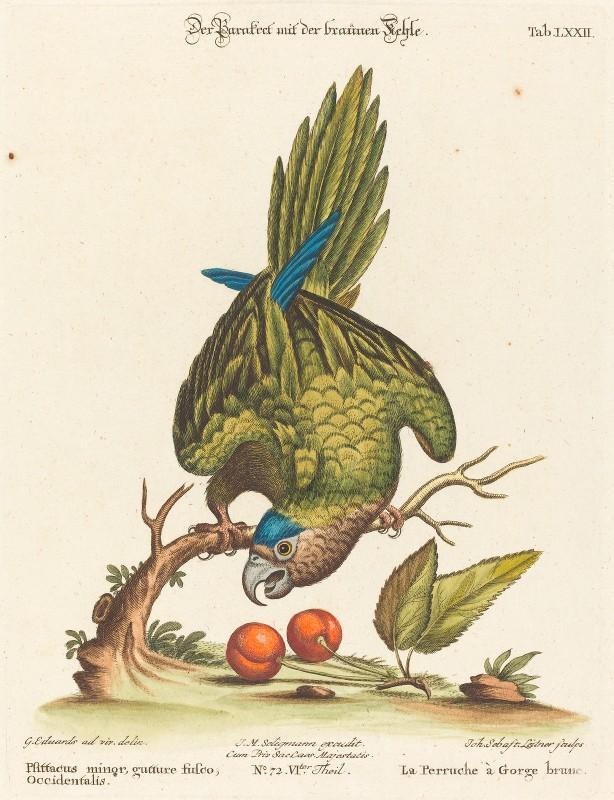 Johann Sebastian Leitner - Psittacus minor gutture fusco, occidentalis