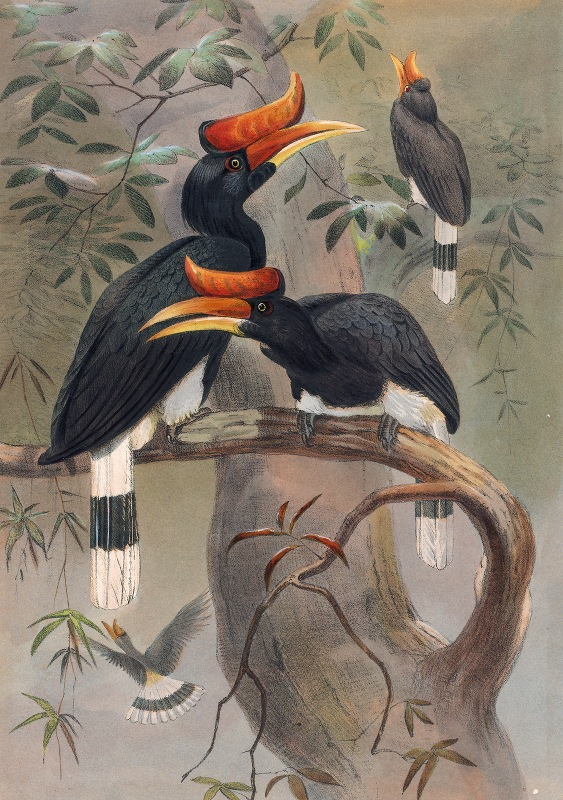 Joseph Wolf - The Concave-Casqued Hornbill