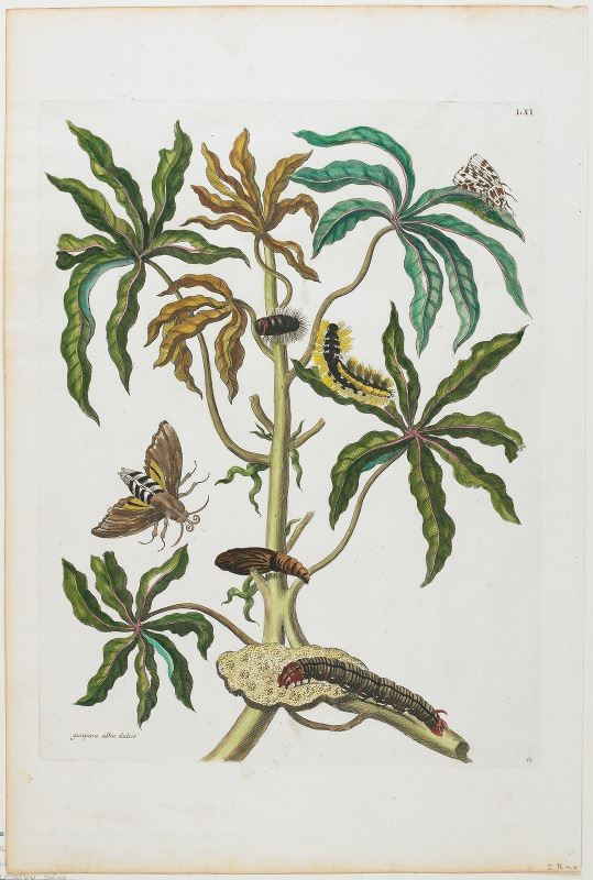 Maria Sibylla Merian - Caterpillars And Insects With Foliage