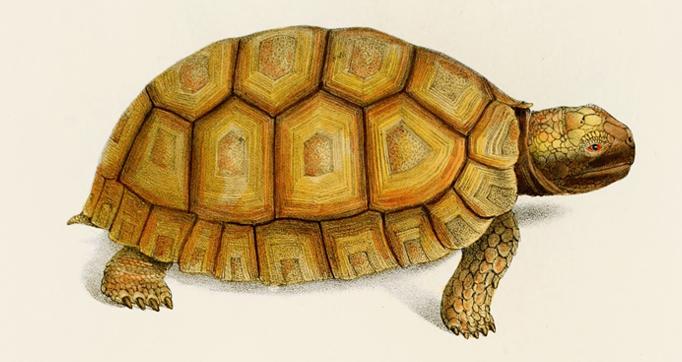 Species novae Testudinum